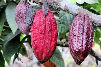cabosso di cacao