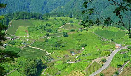 piantagioni di te in Cina